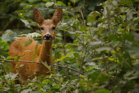 Close Up Portrait Of Deer Amidst Plants In Forest