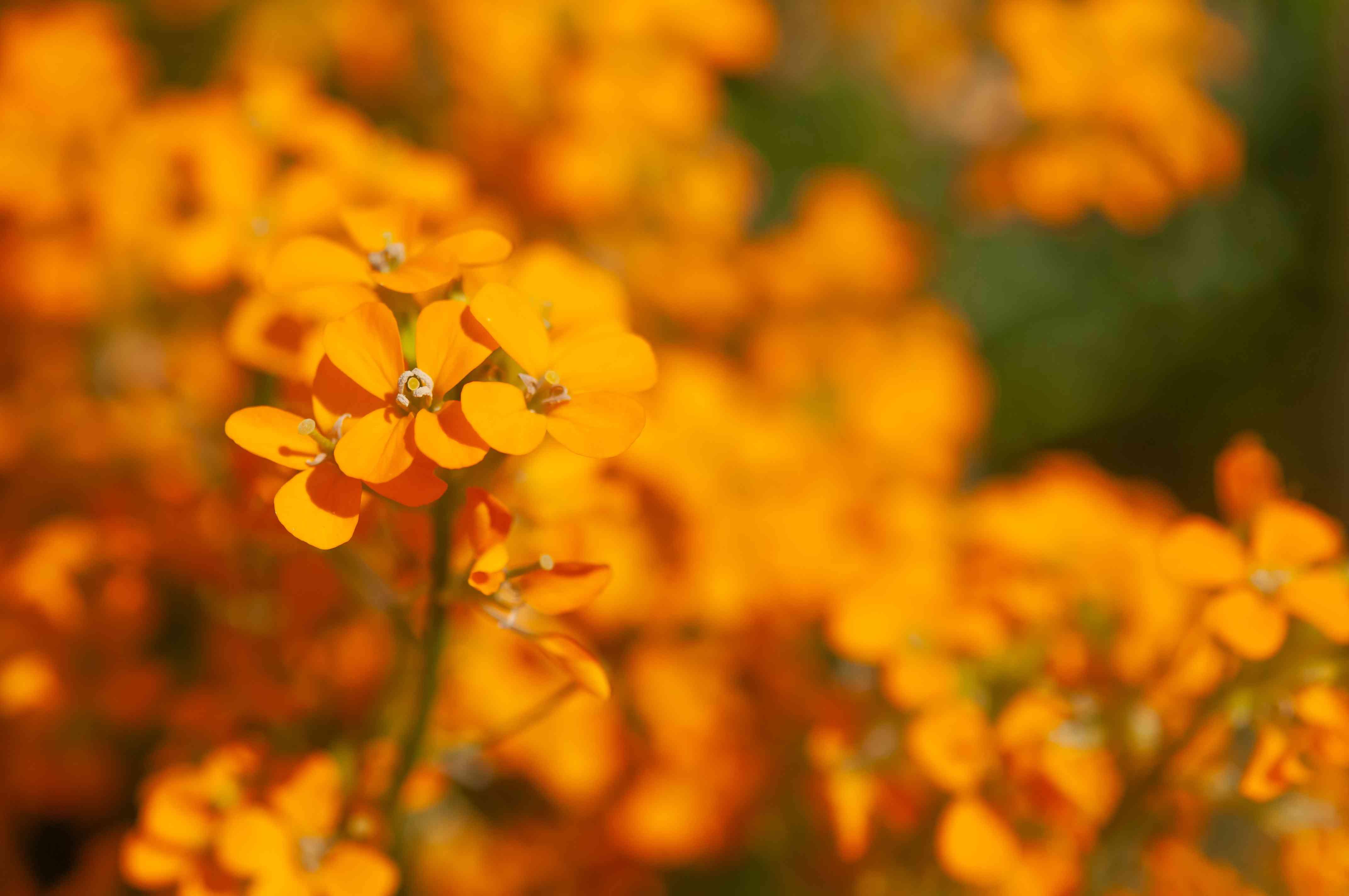 Altgold wallflower plant with orange flowers closeup
