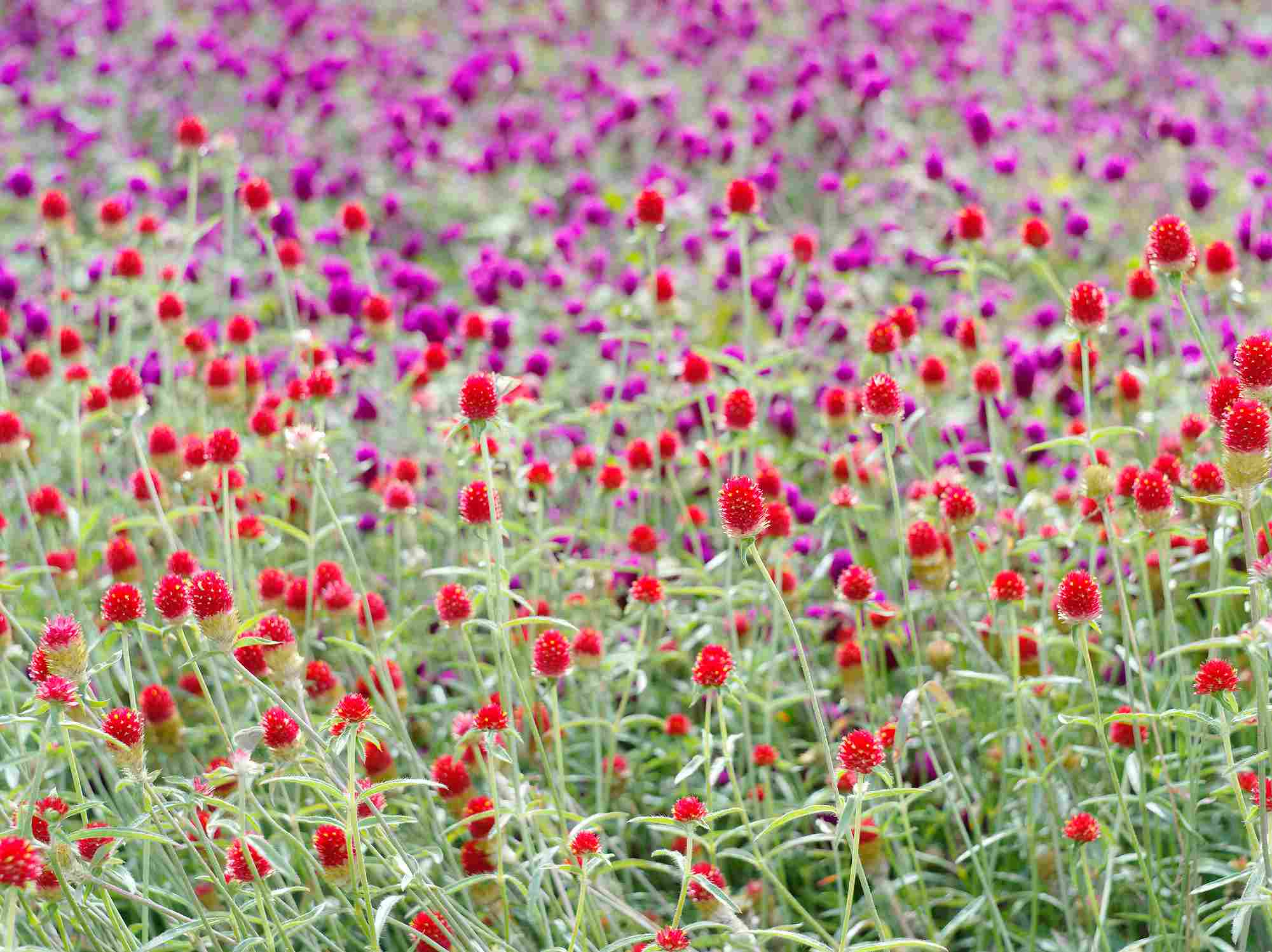 Globe amaranth in full sun