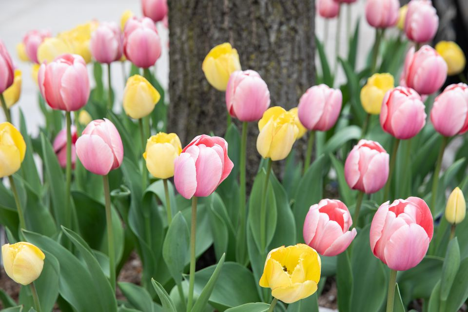 Pink and yellow tulips growing at base of tree trunk closeup