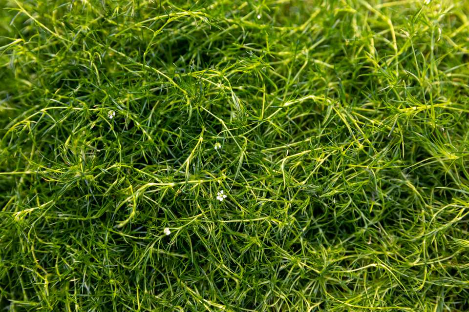 Irish moss ground cover with thin moss-like leaves and tiny white flowers