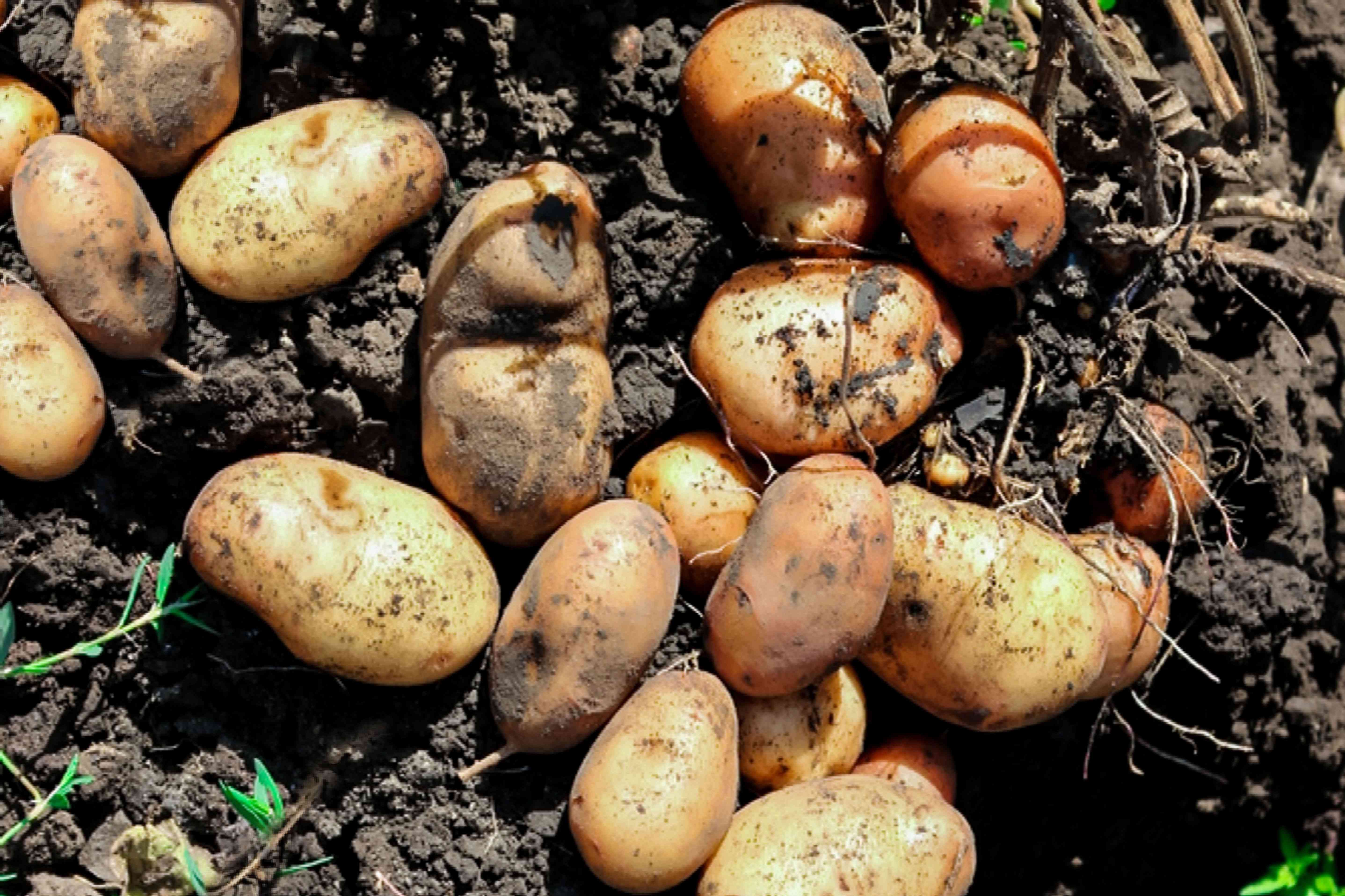 Potatoes covered in soil in sunlight closeup