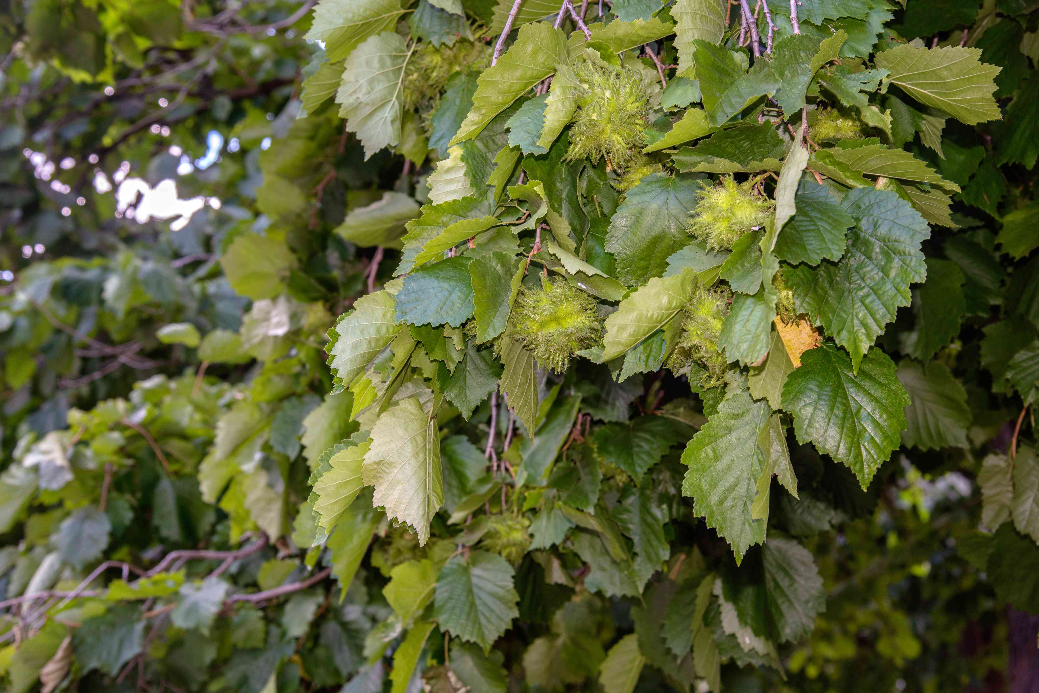 Beaked hazelnut shrub branch with green spiked acorns hanging surrounded by leaves