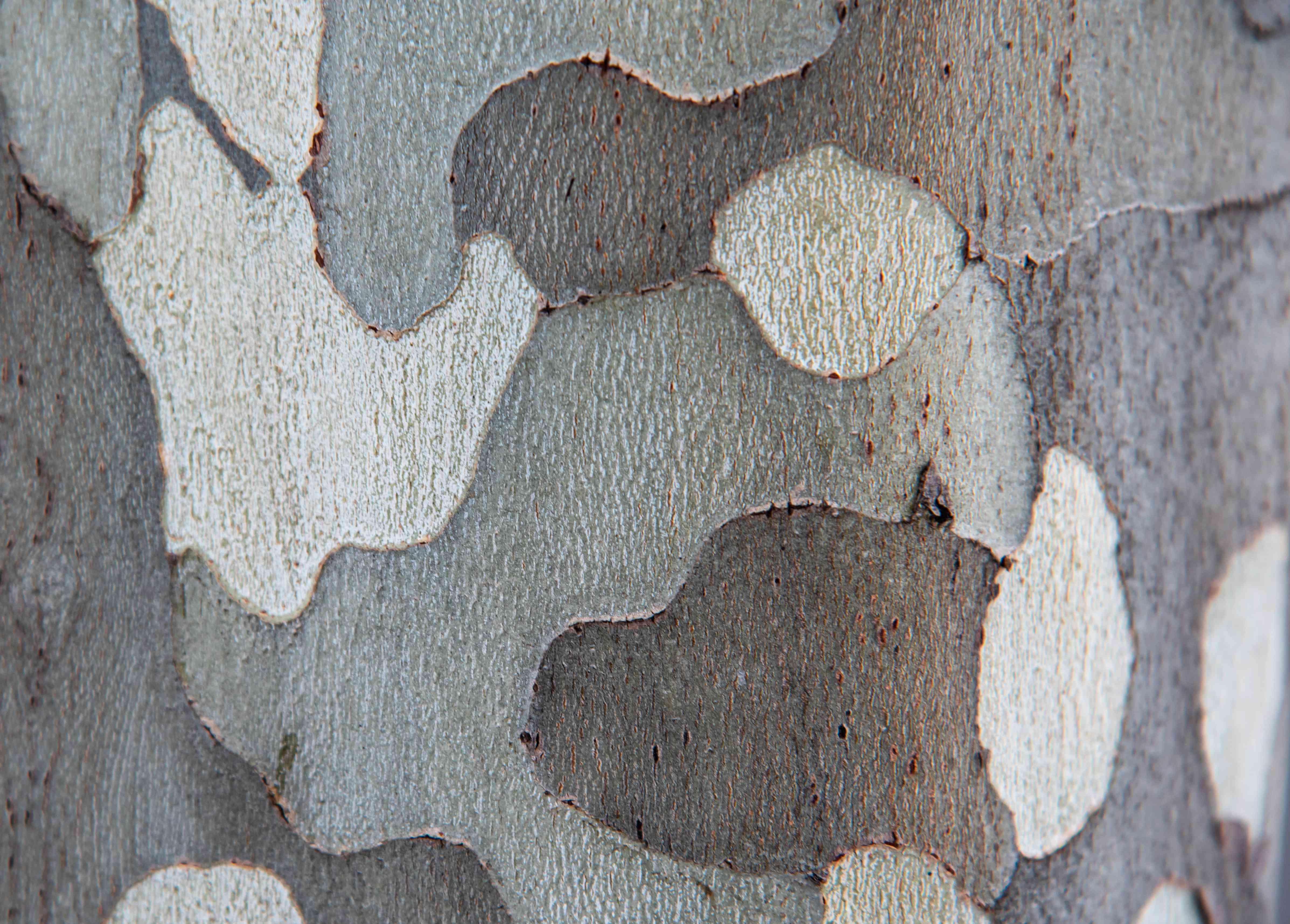 London planetree trunk detail