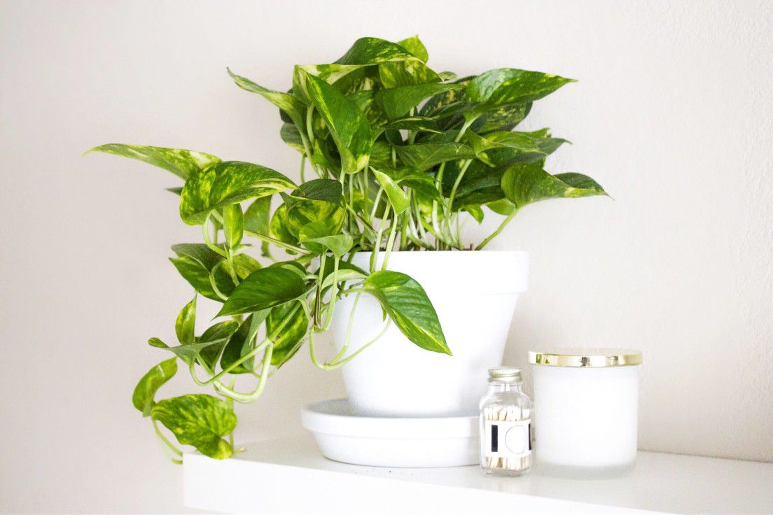 golden pothos vine in white planter