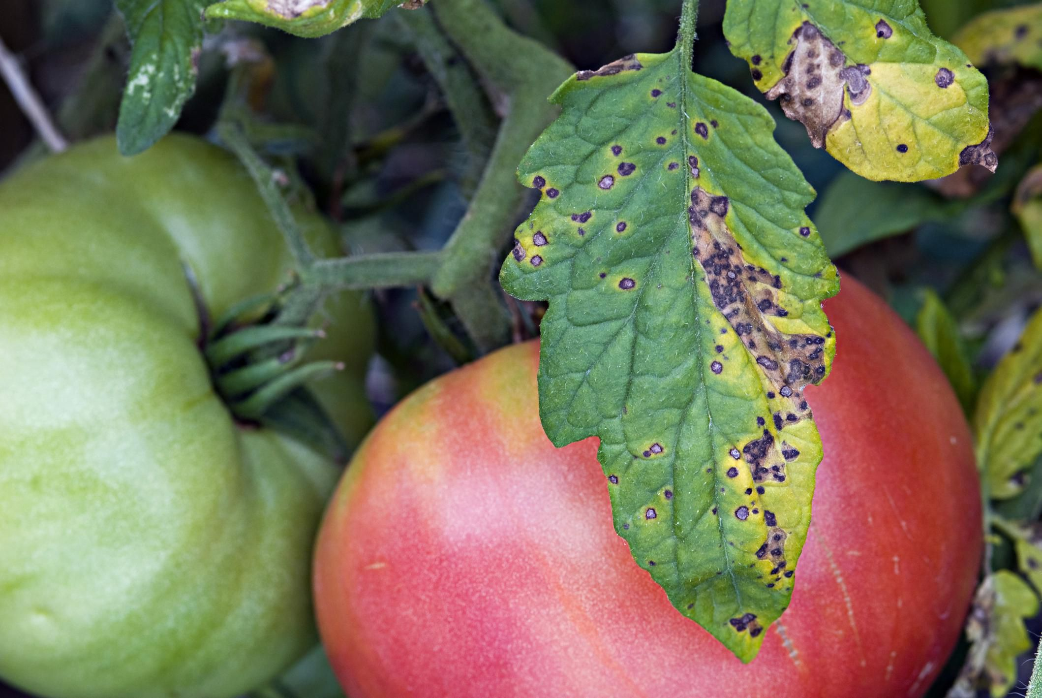 Identifying and Controlling Septoria Leaf Spot
