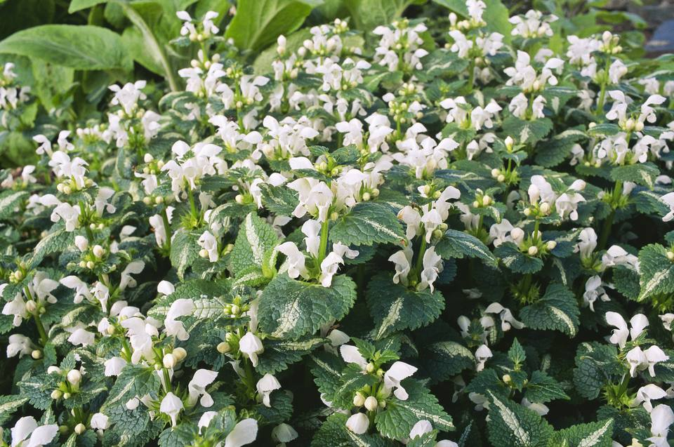 Ground covers for shade 5 to plant 7 to be wary of lamium maculatum album with its white flowers and variegated mightylinksfo