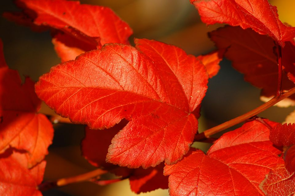 Diablo ninebark's leaves (image) turn reddish in autumn. They're darker in summer.