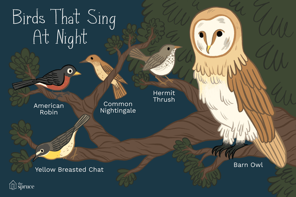 illustration of birds that sing at night