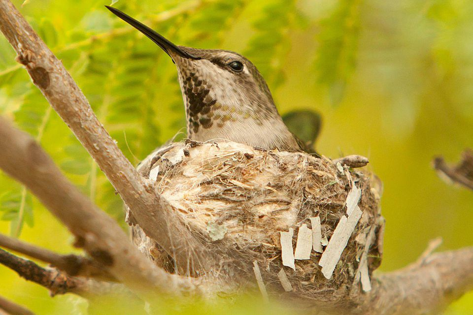 Ruby-Throated Hummingbird Nest