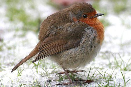 Can Wild Birds Get Fat?