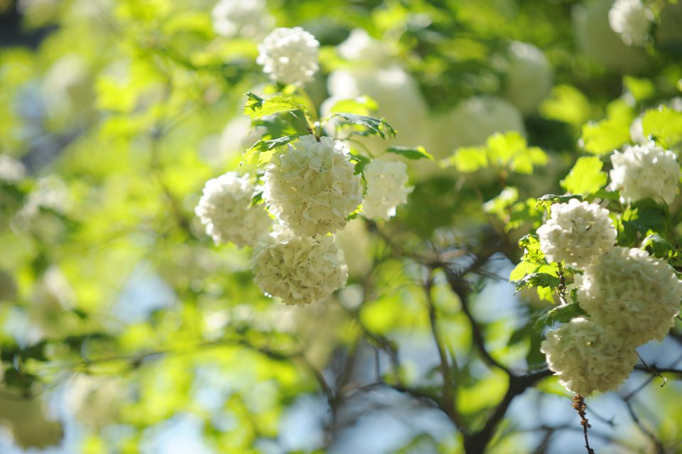 Chinese snowball viburnum shrub with white softball-sized flower blooms in partial sunlight