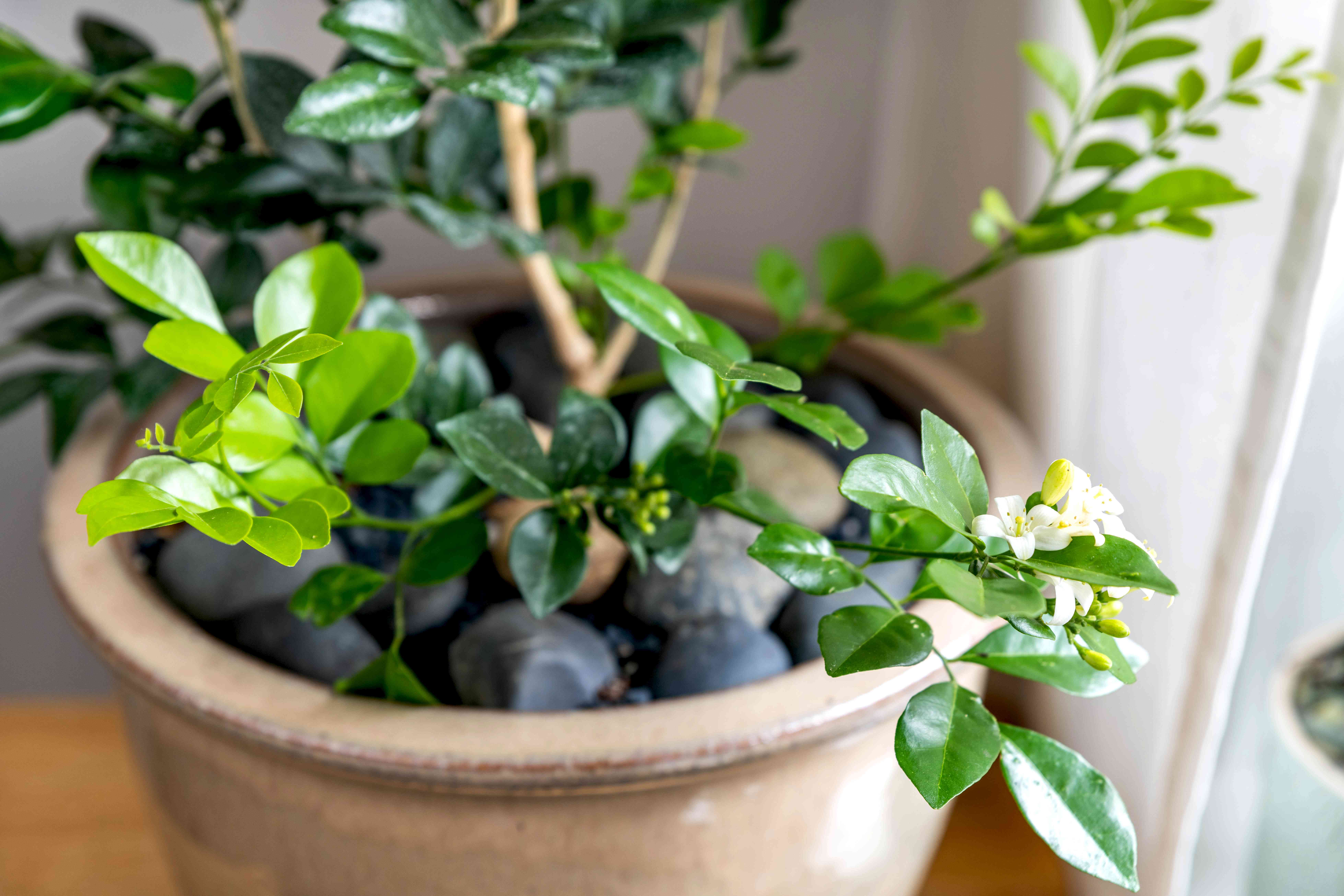 Orange jasmine plant with small white flowers and buds in tan pot with black pebbles