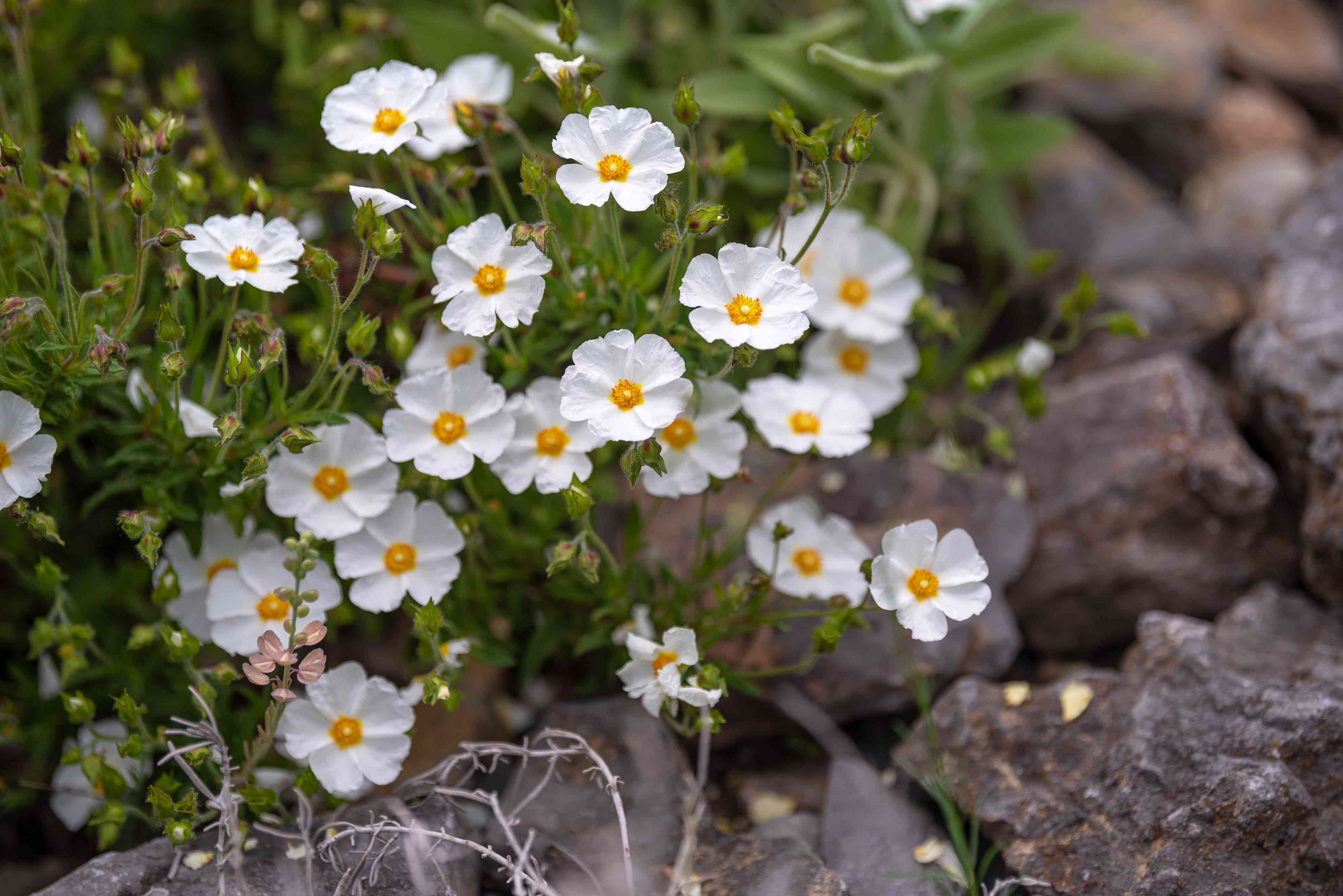 Rockrose shrub with small white flowers with yellow centers near small rocks