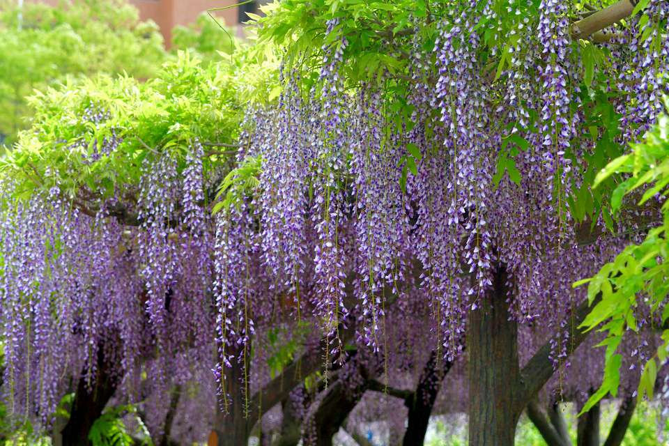 Blossoms on a Japanese wisteria
