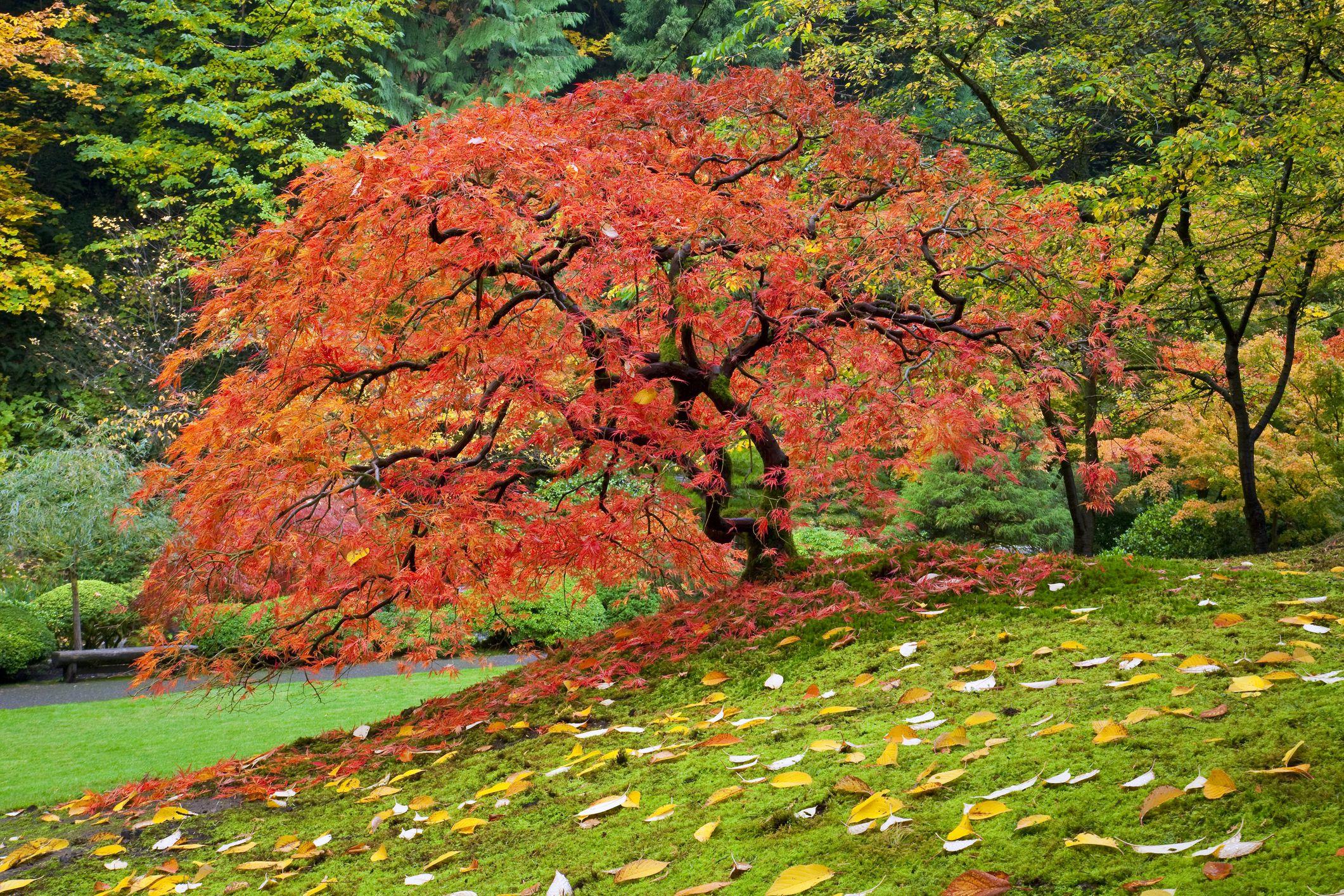 A Japanese maple in a garden