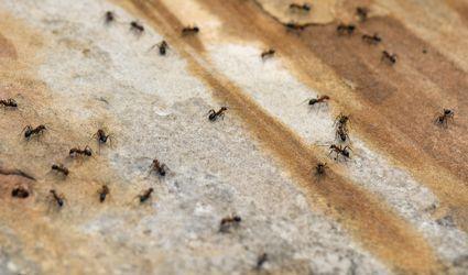 Ants on Walkway