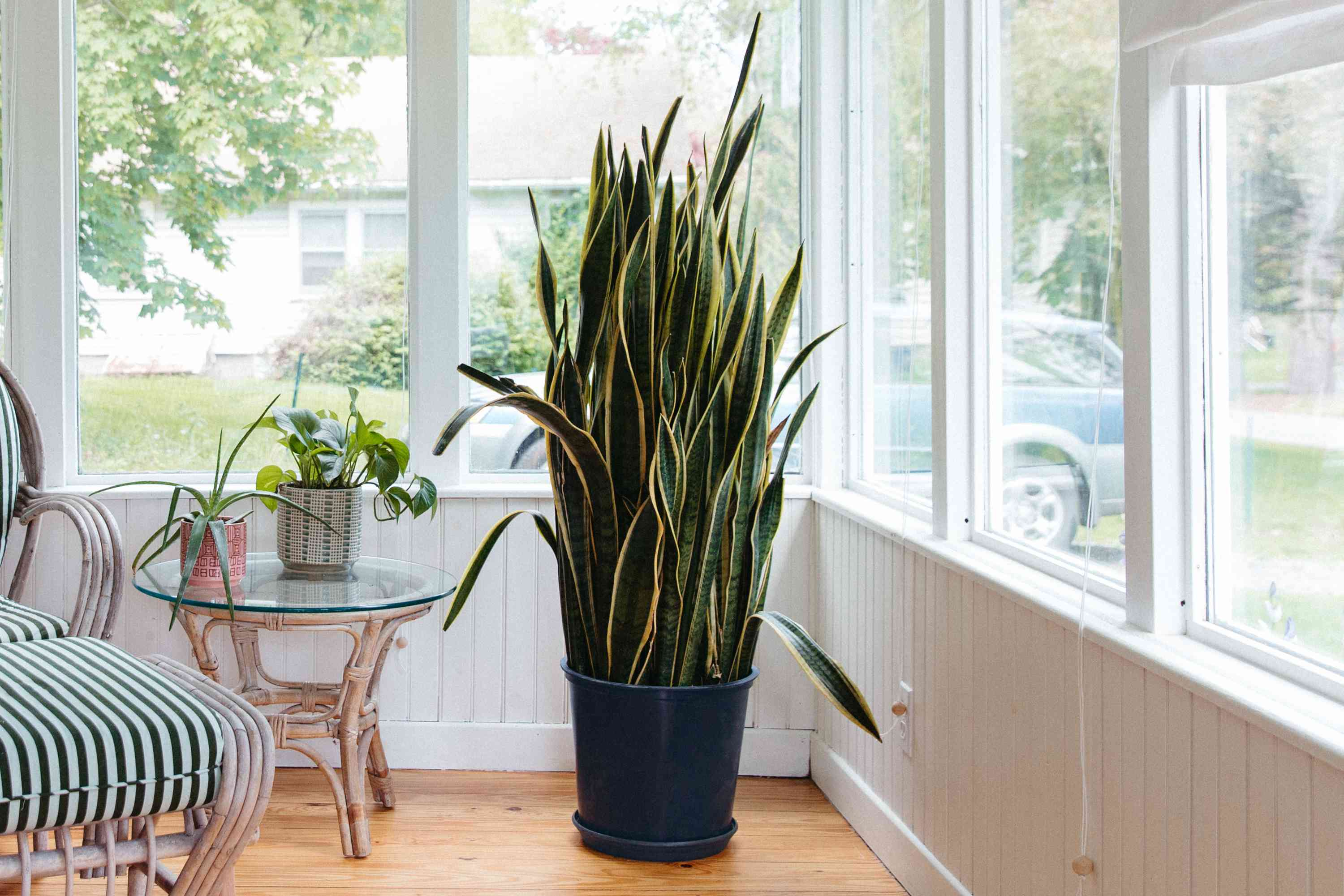 fully grown snake plant in a sunroom