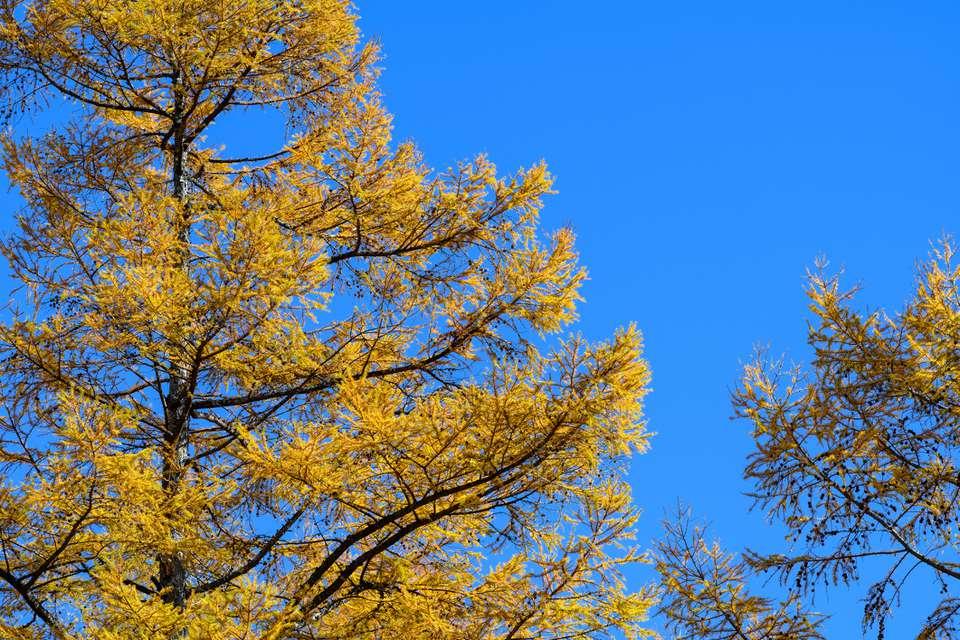 Autumn leaves of Japanese lark