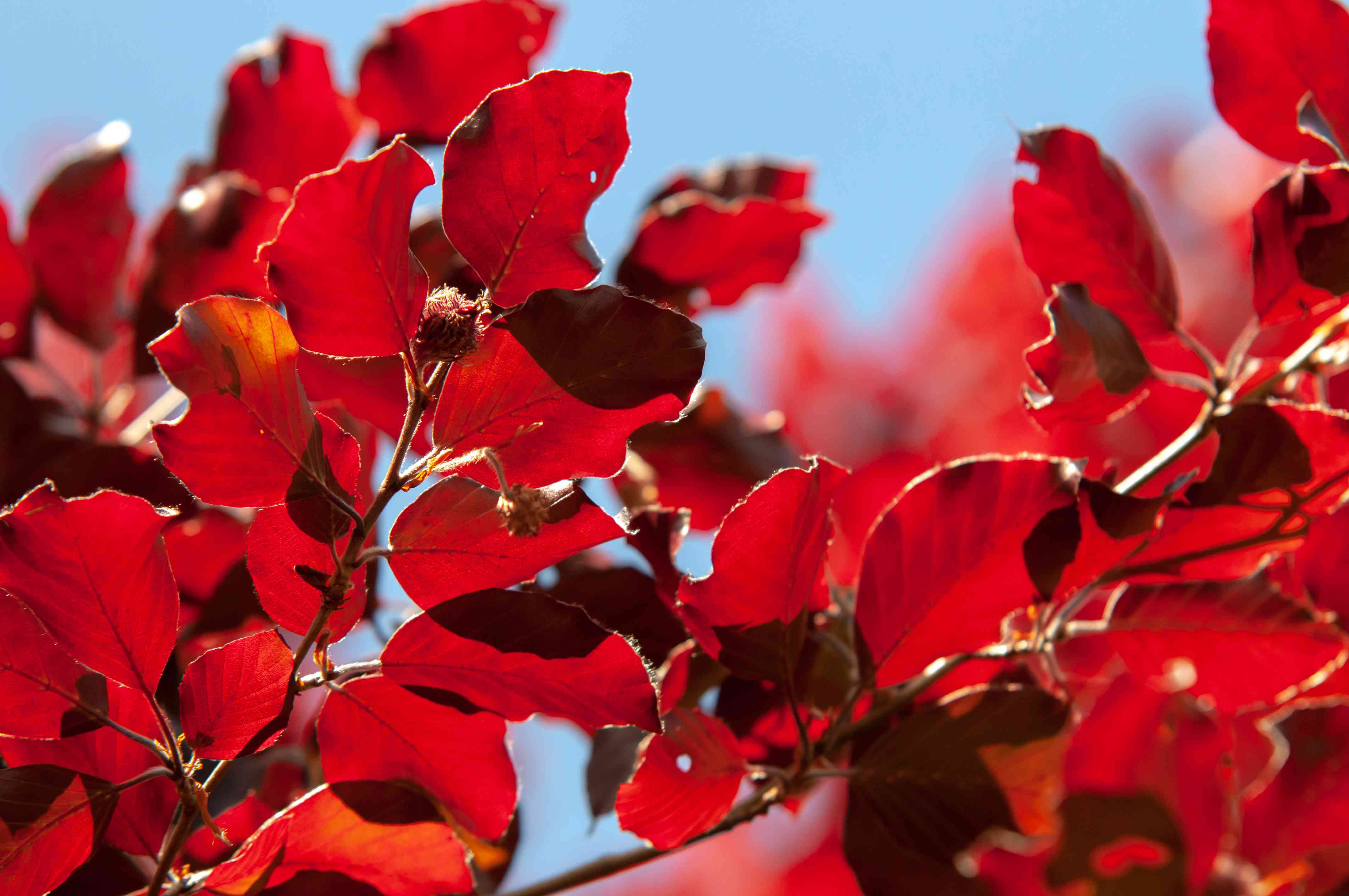 Pleached Copper European Beech tree branches with red leaves in sun closeup