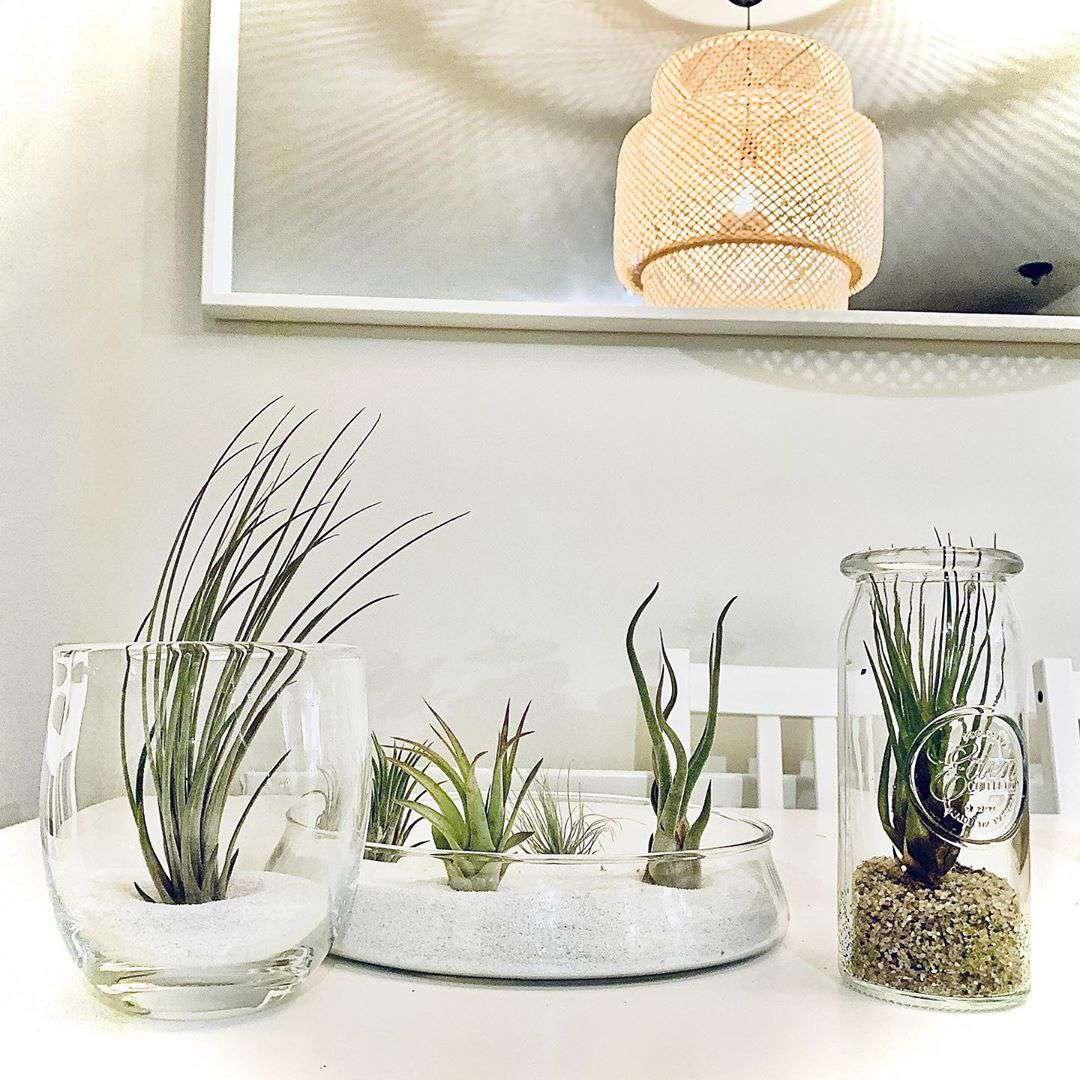 Plantas de aire en frascos de vidrio