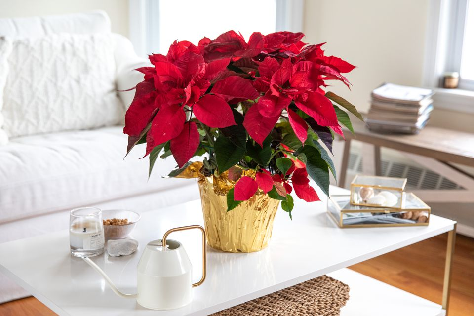 a poinsettia plant on a coffee table