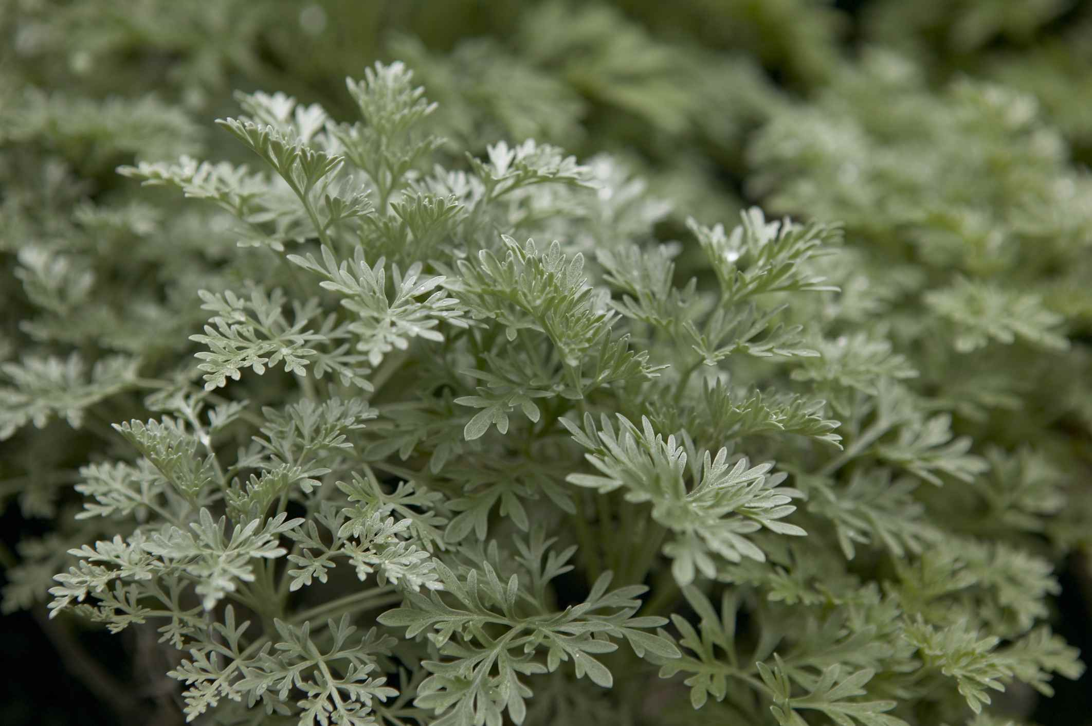 Silver leaves of Artemisia Powis Castle plant