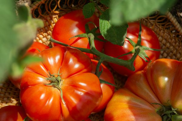 Organic red tomatoes on the stem in a wicker basket