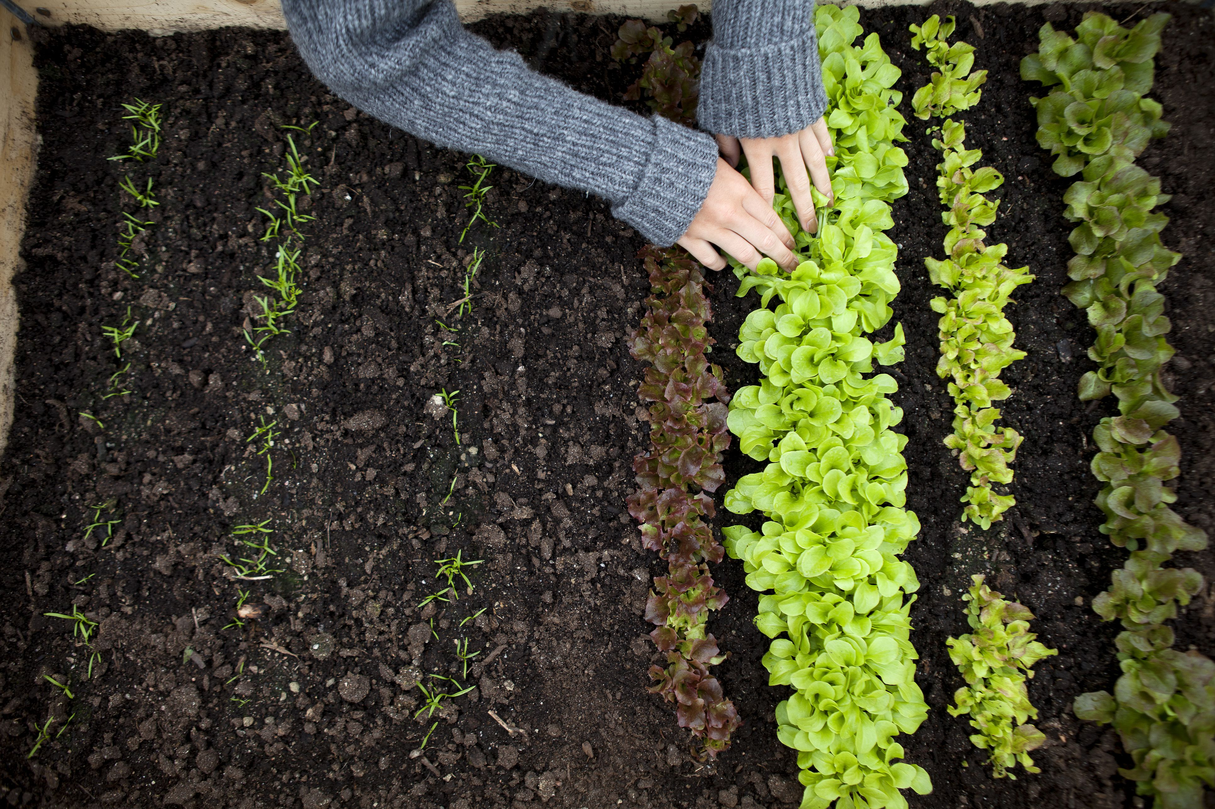 How to thin vegetable seedlings - How to store lettuce from garden ...