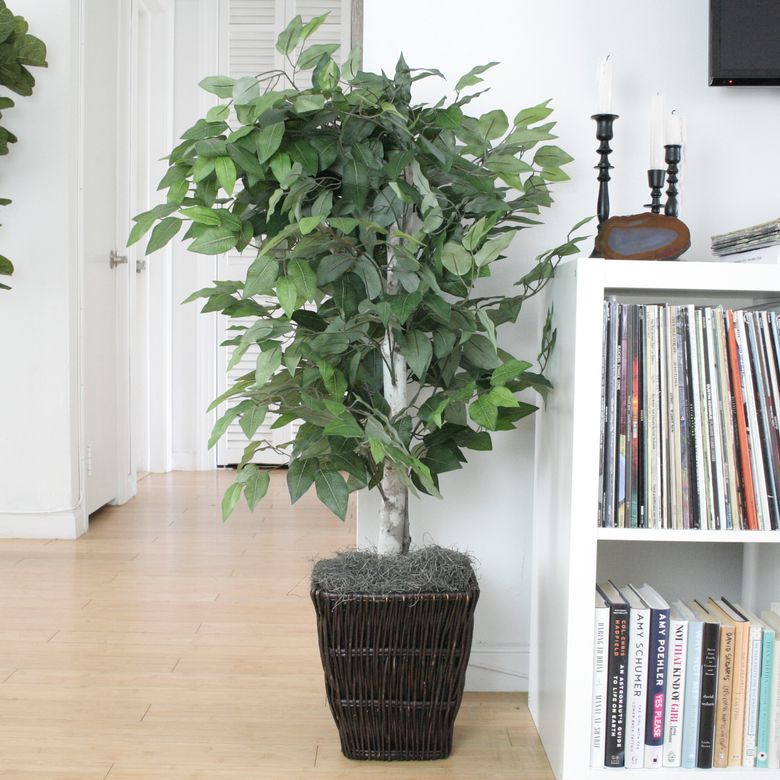 Vickerman Ficus Bush