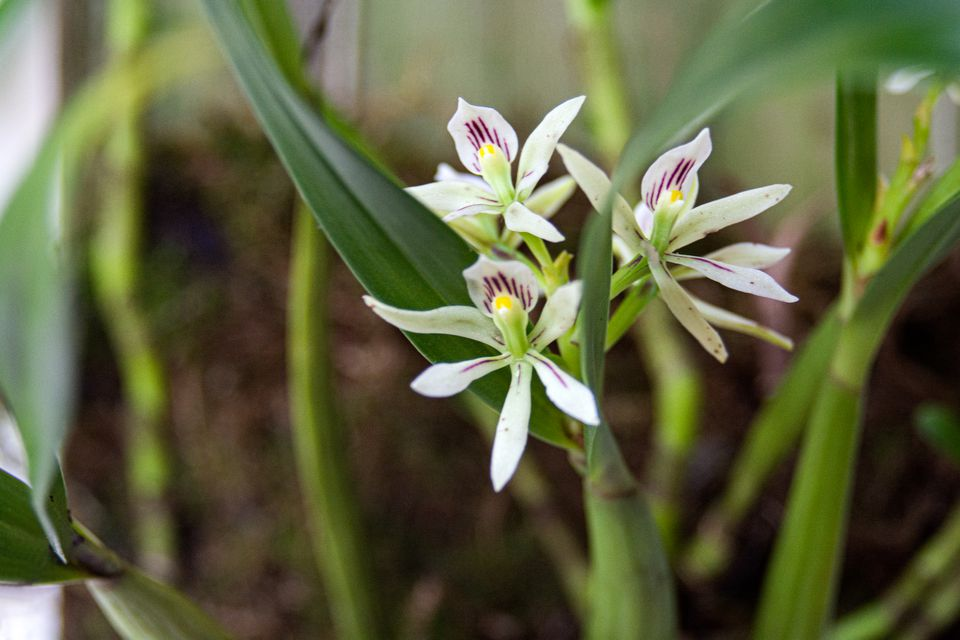 Encyclia orchid with white flowers with purple stripes near large leaves