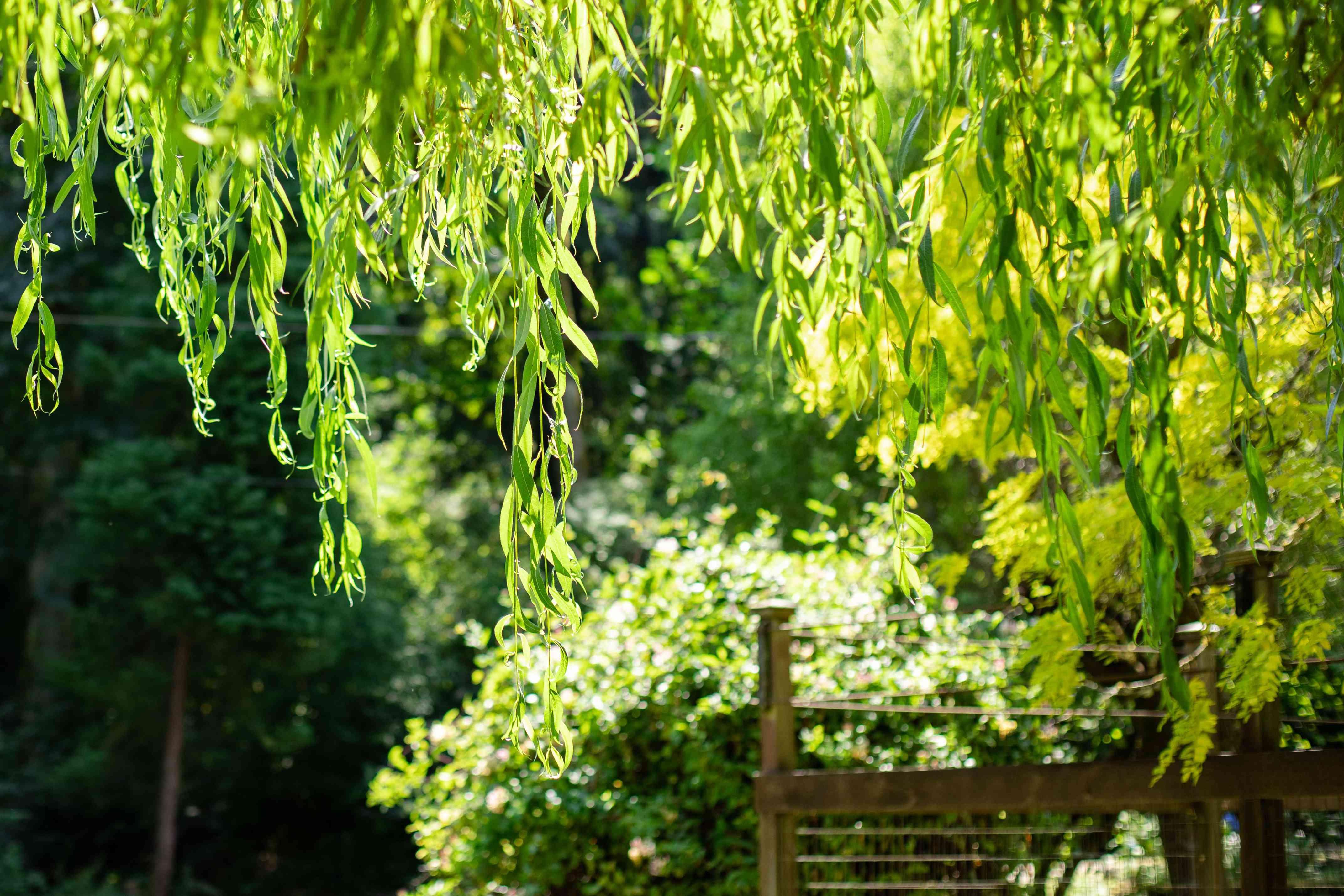 closeup of weeping willow