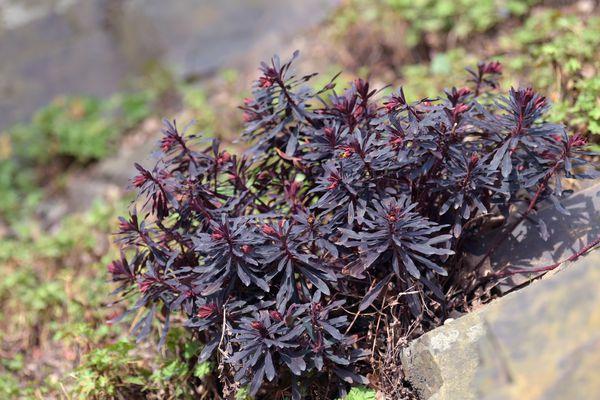 Purple wood spurge bush growing on hill with dark purple leaves