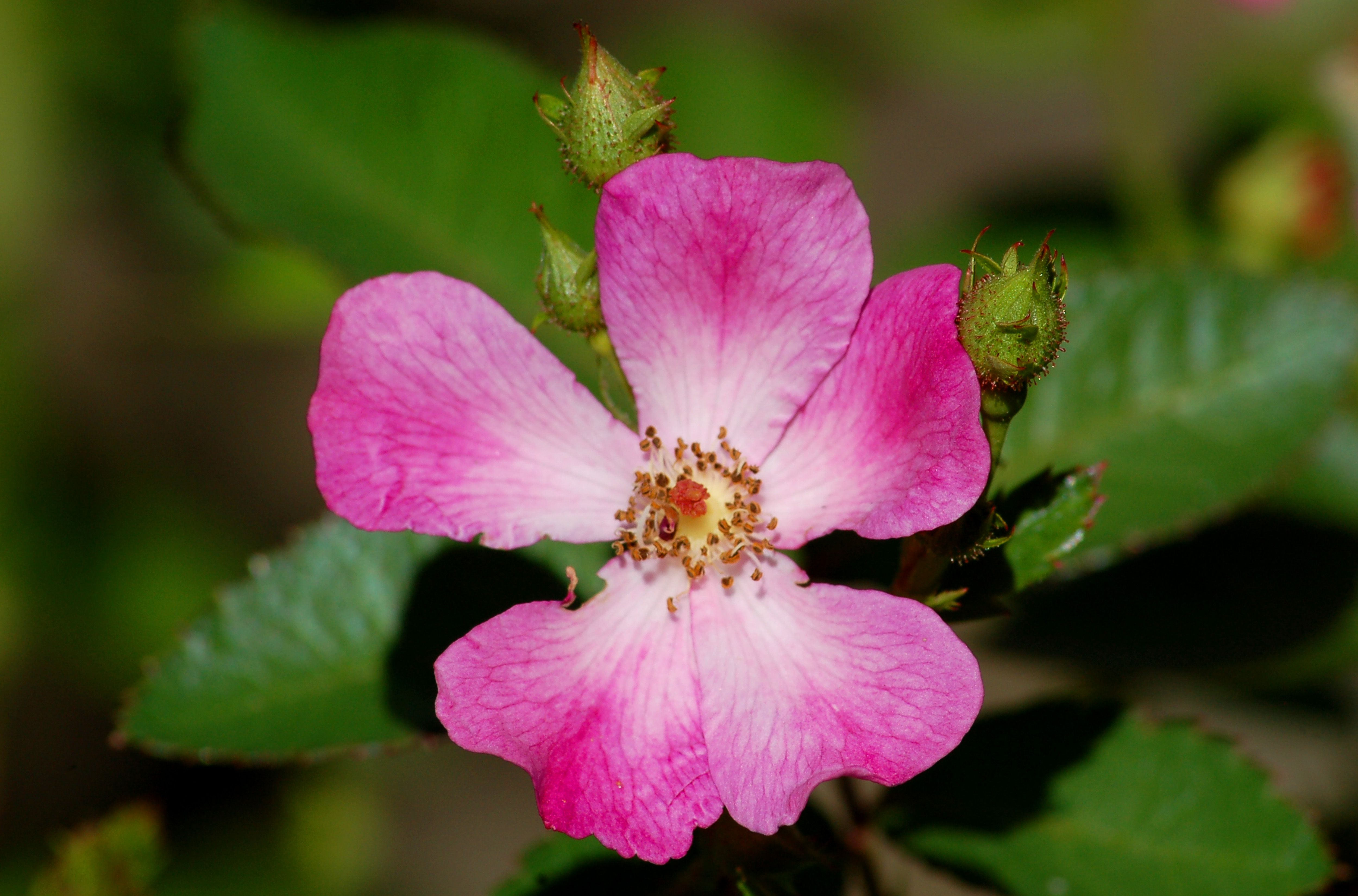 Oso Happy Smoothie rose bush with a pink flower.