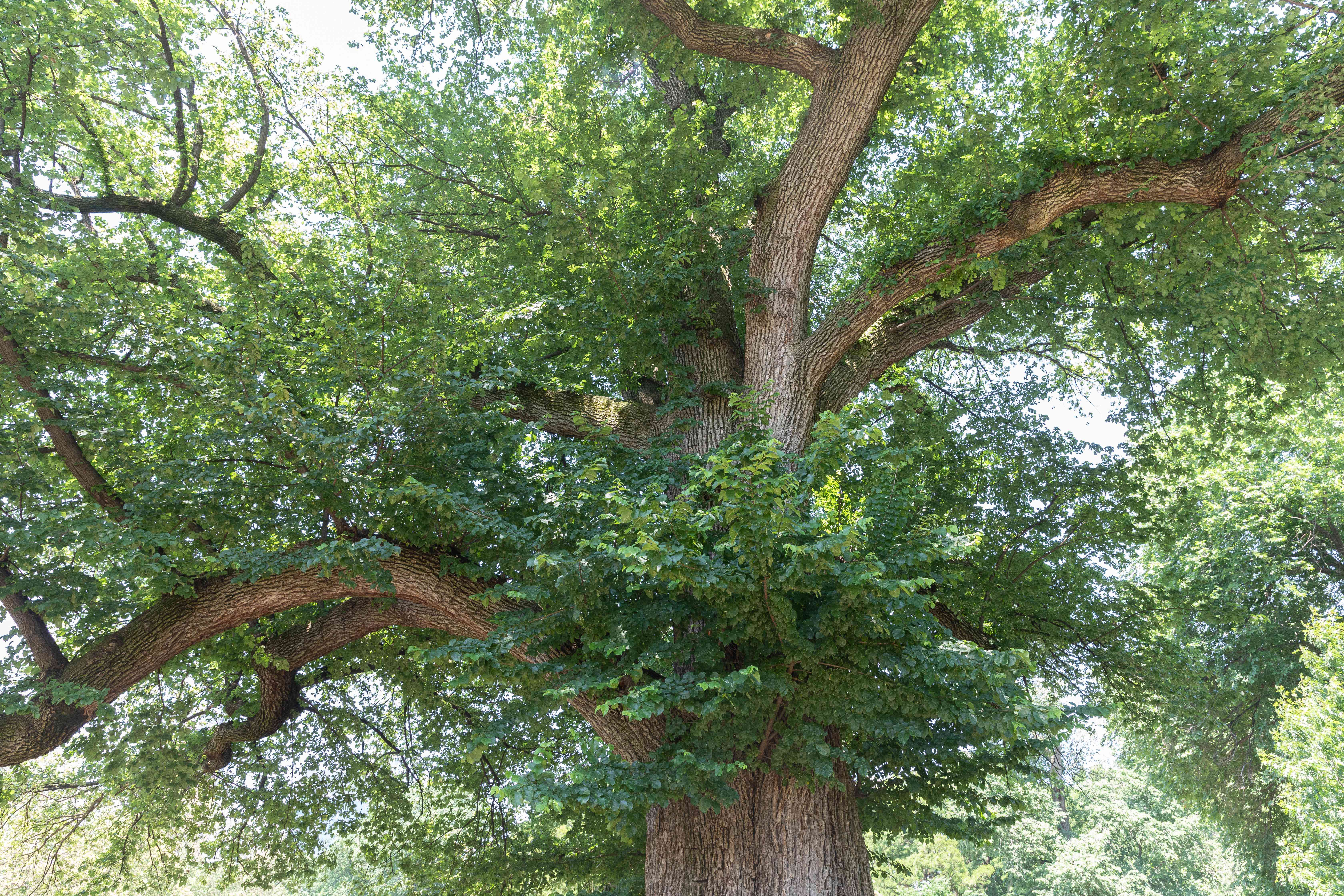 English elm tree with thick trunk and sprawling branches with green leaves