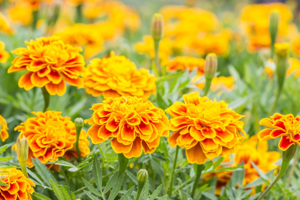 Orange flowers, French marigolds.