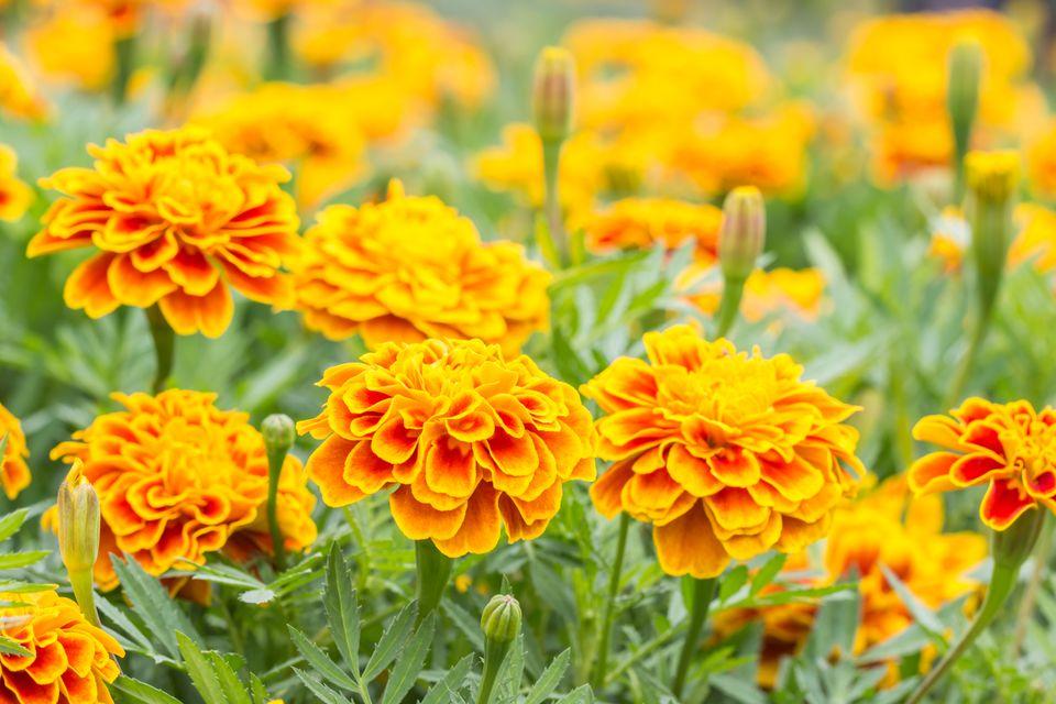Flores anaranjadas, maravillas francesas.