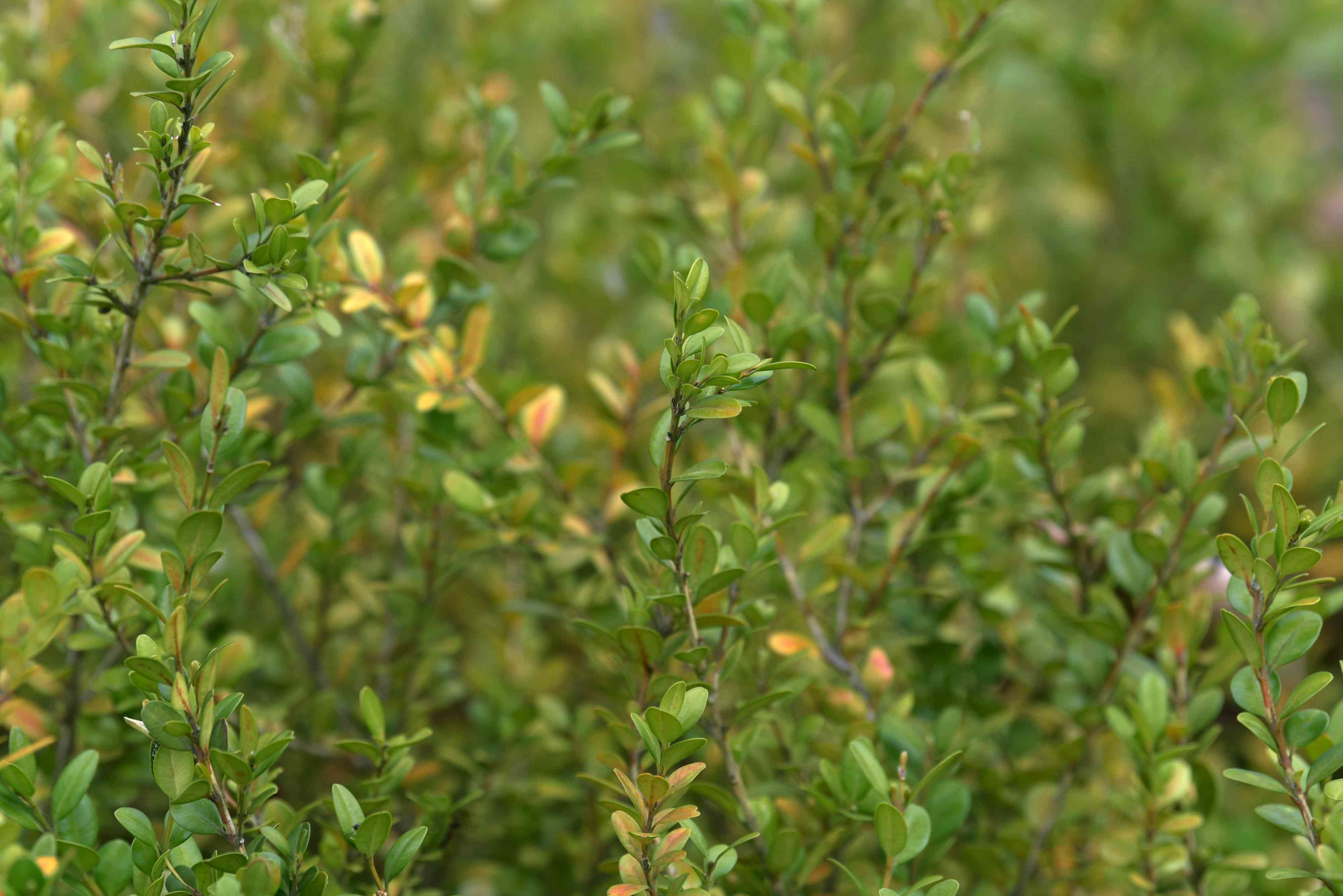 Winter gem boxwood shrub branches with small circular yellow-green leaves closeup