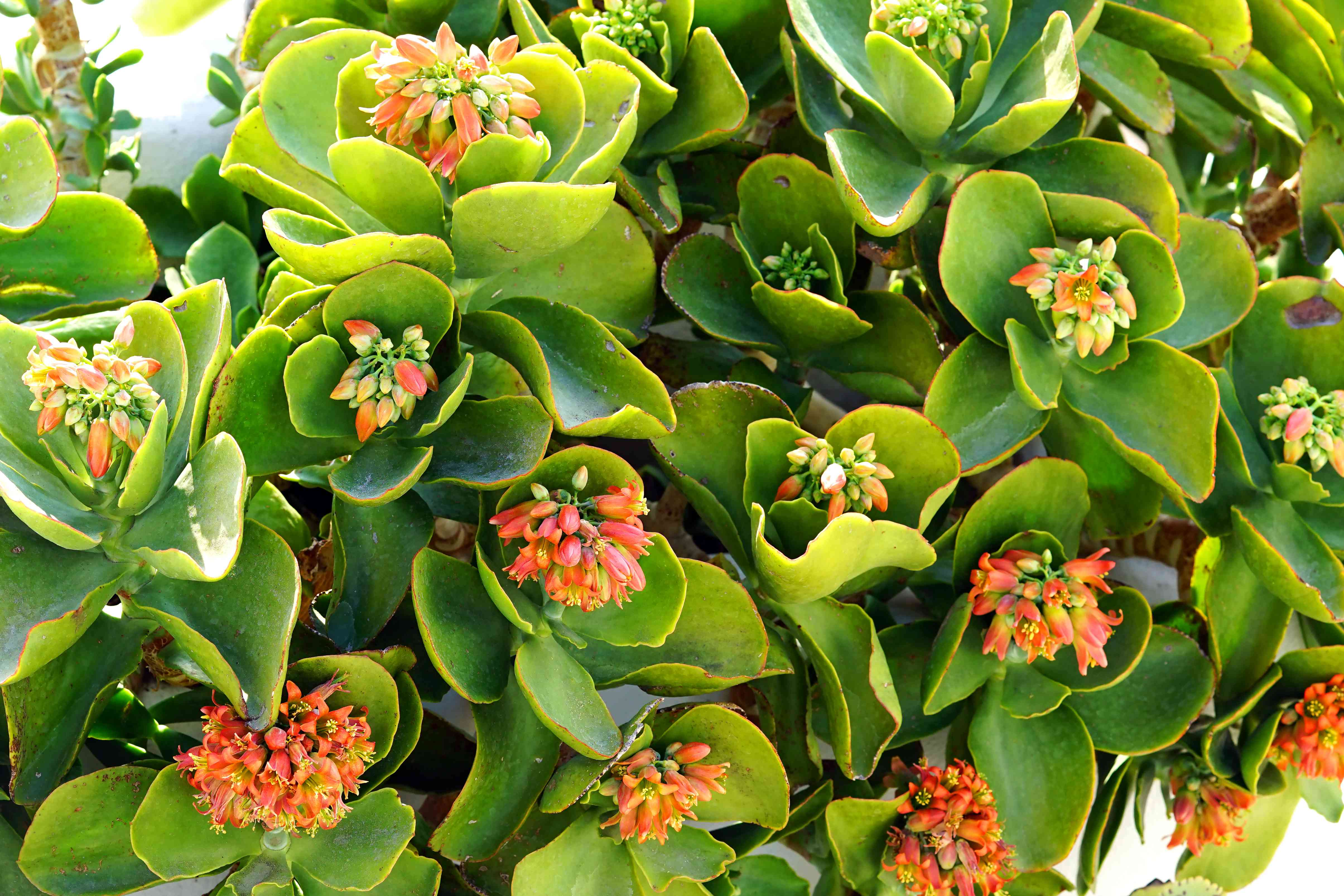 Kalanchoe thyrsiflora is a succulent plant native from Madacascar which produces beautiful flowers