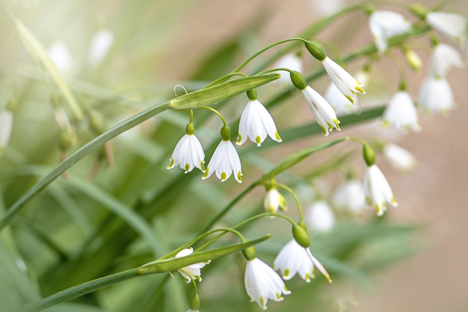 Close-up image of the beautiful white flowers of the Spring Snowflake also known as Leucojum vernum