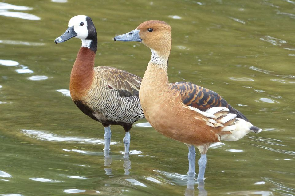 White-Faced and Lesser Whistling-Ducks