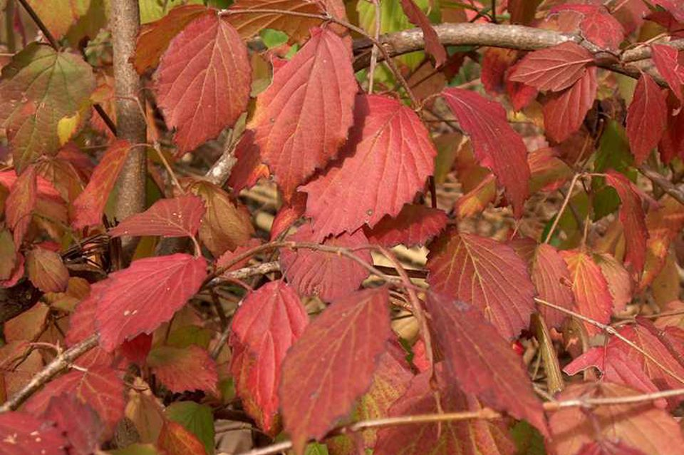 Picture of arrowwood viburnum's fall foliage.