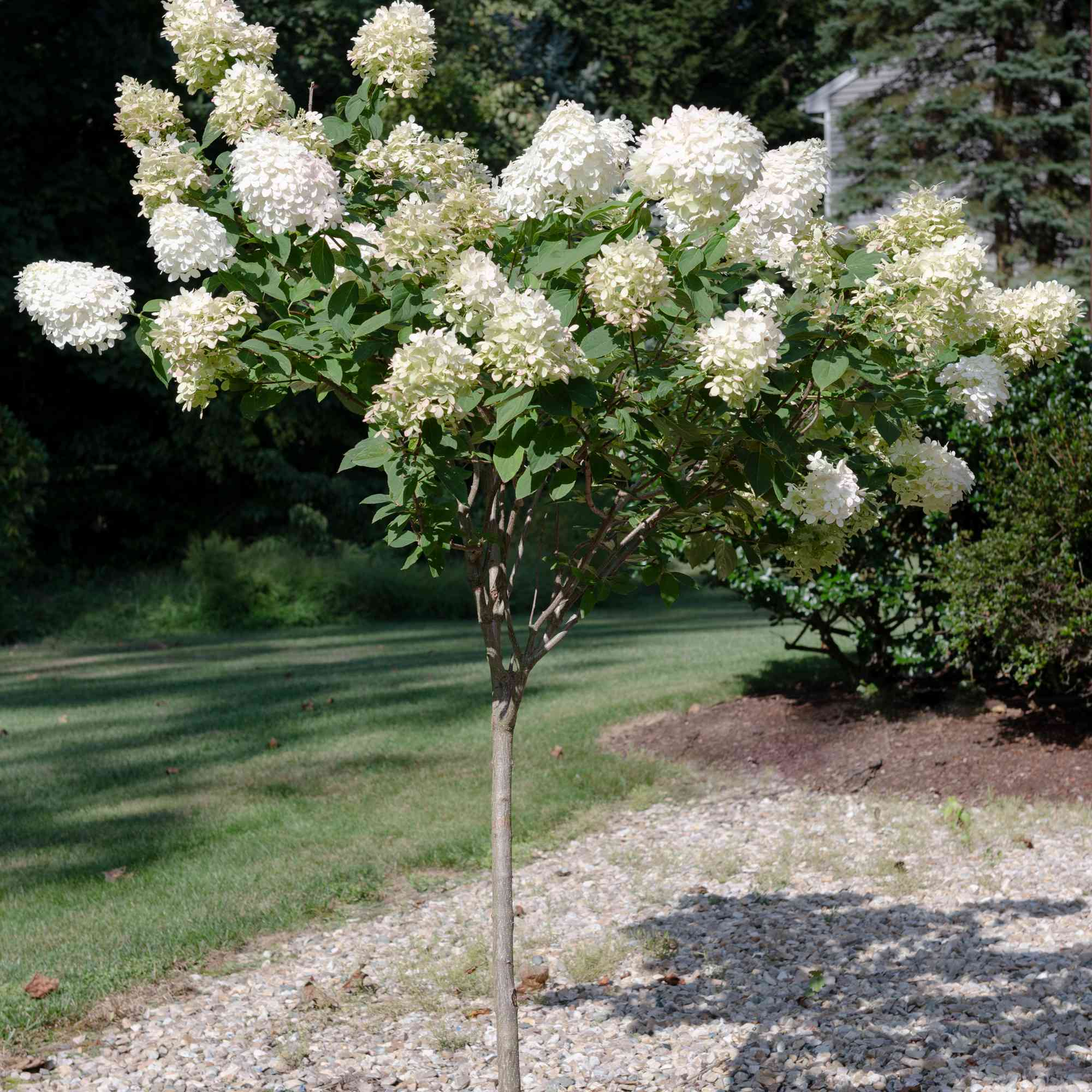 PeeGee hydrangea with white and cream blooms