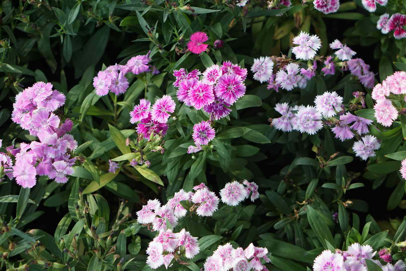 Sweet Williams plant with circular pink and light pink flowers clustered together