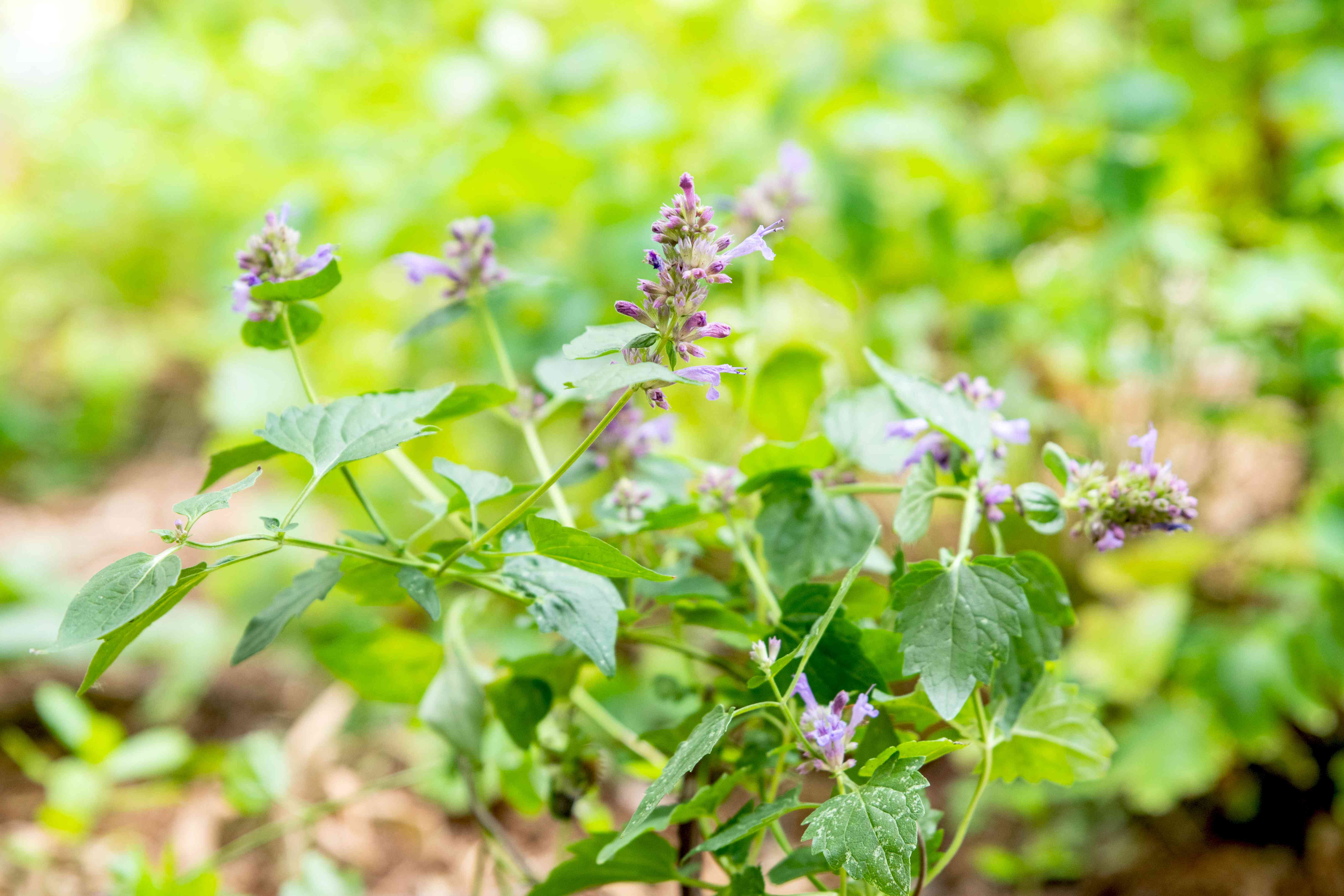 Agastache plant growing flower spikes with tiny buds and leaves on thin stems