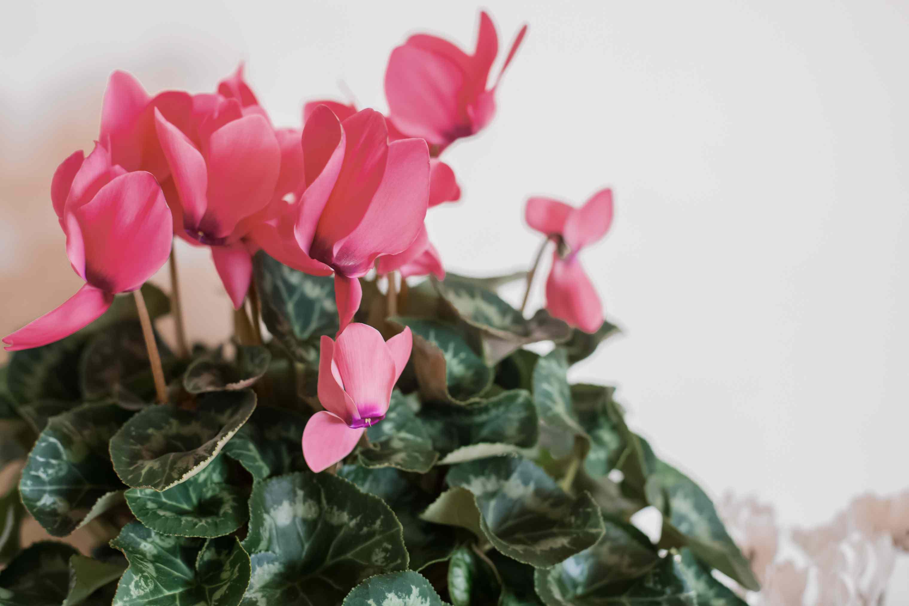 closeup of cyclamen petals