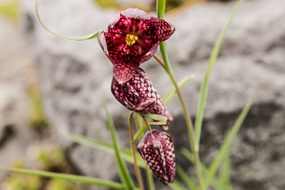 Fritillaria plant with purple-spotted pink flower on thin stems closeup