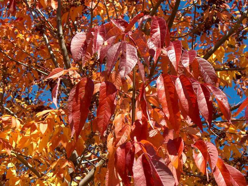 """Close up of White Ash """"Autumn Purple"""" leaflets in fall."""
