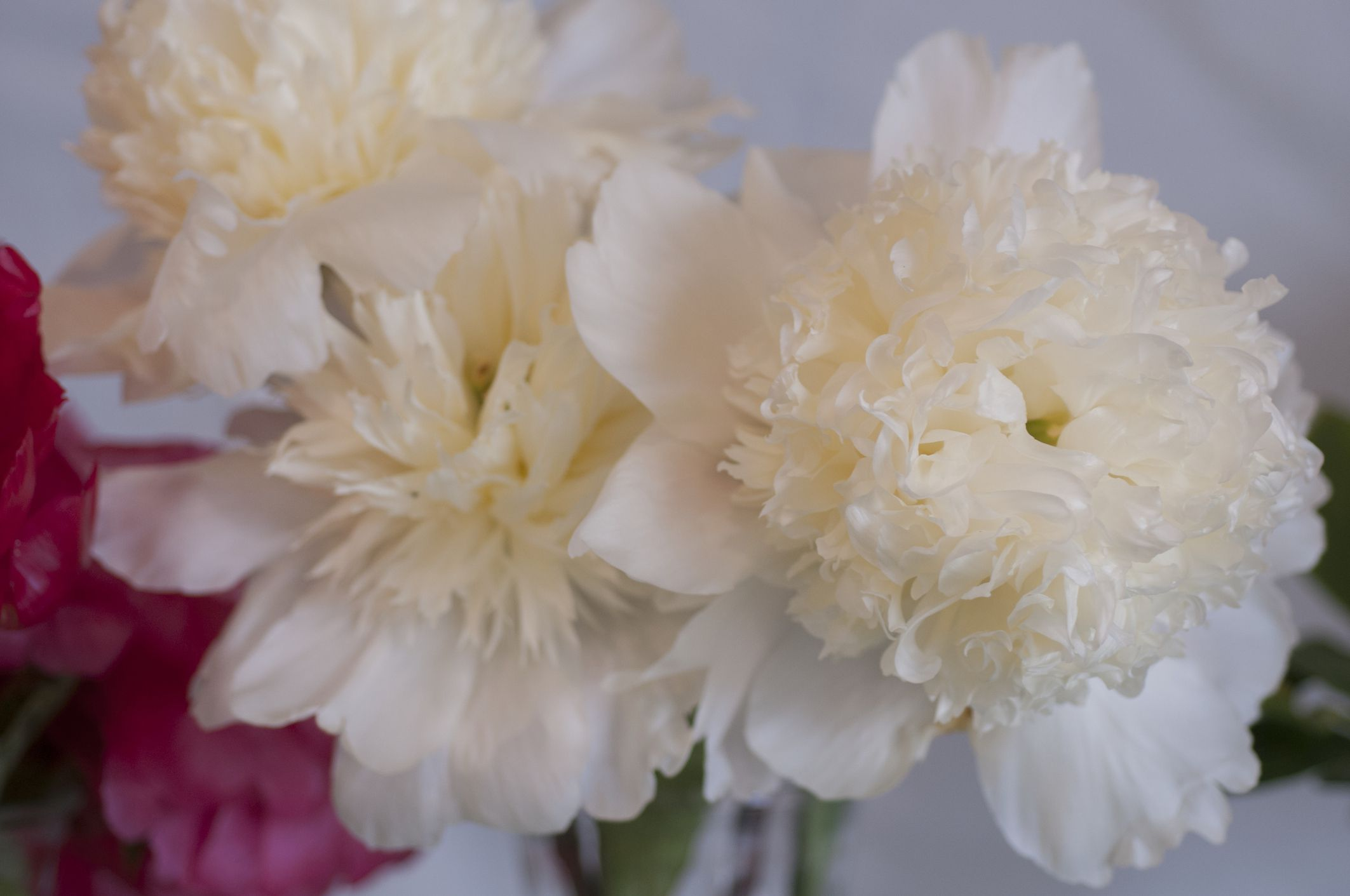 15 Beautiful Peony Varieties