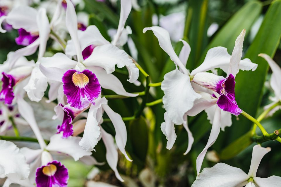 White and purple hybrid orchids on thin green stems closeup